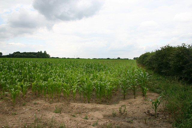 Maize crop near Tittleshall