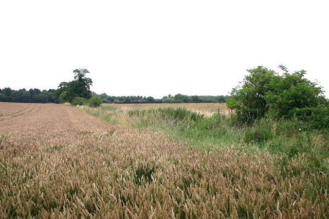 Wheat field near Tittleshall