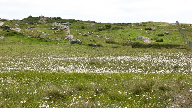 Cotton Grass on the moor.
