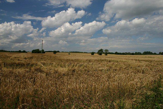 Wheat field near Stanfield