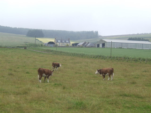Hereford cattle at East Town Farm