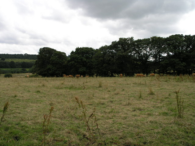 Cows in a Field.
