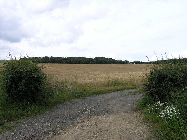 Corn Field. Low Row.