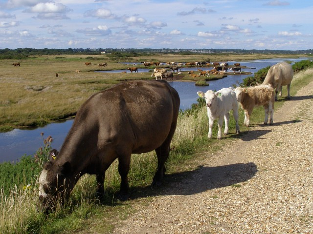 Cattle on the sea wall, Pennington Marshes