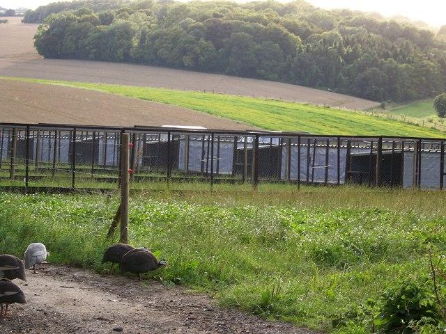 Pheasant rearing pens near Odstock