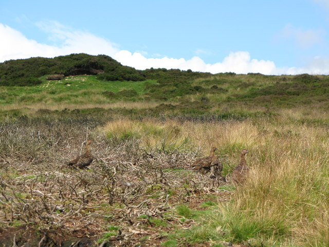 Moorland and grouse