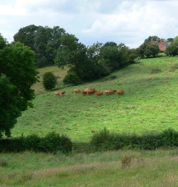 Cattle near Goadby