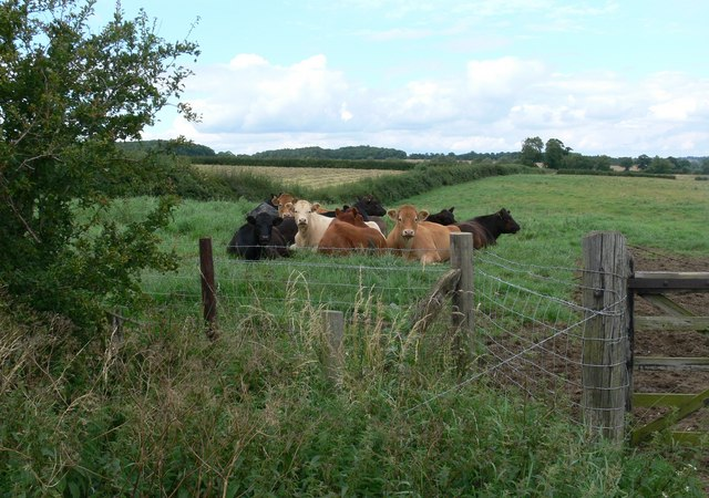 Cattle next to Roman Road