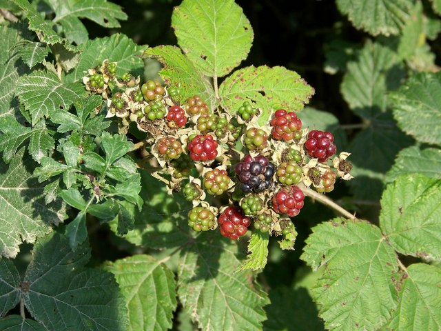 Nearly Blackberries