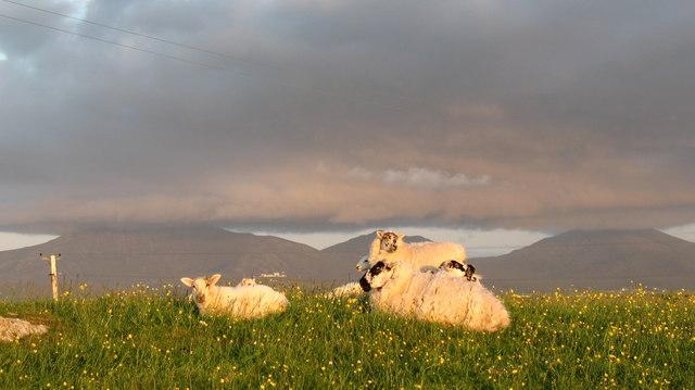 Sheep on the Machair