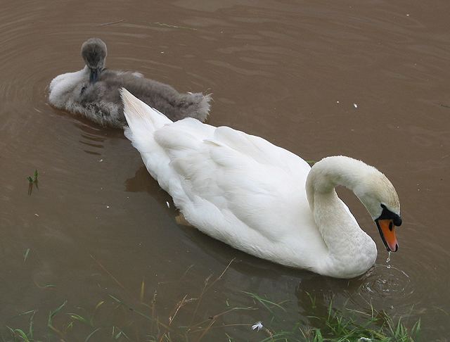Swan with cygnet on flooded fields near the Wye
