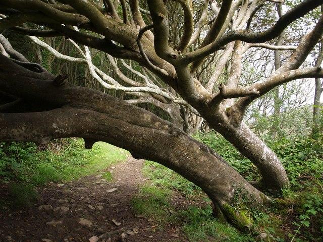 Beech trees across footpath
