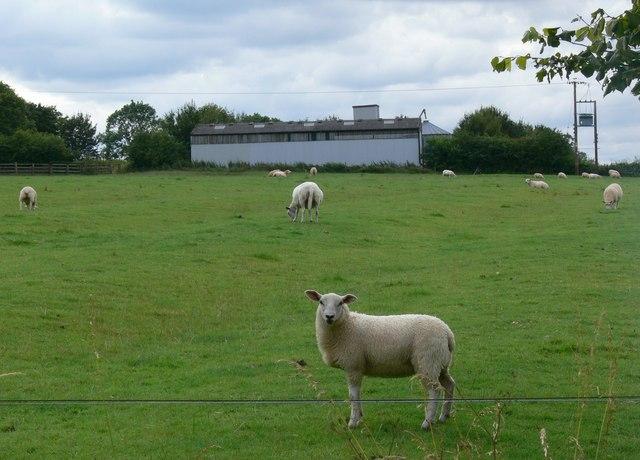 Sheep south of Shangton