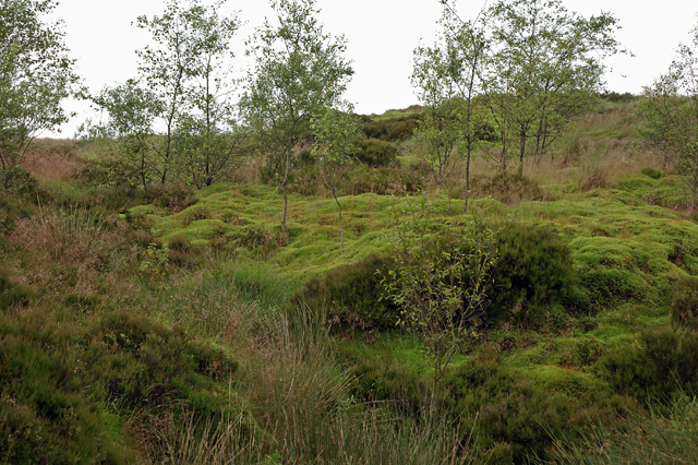 Saplings on Darwen Moor