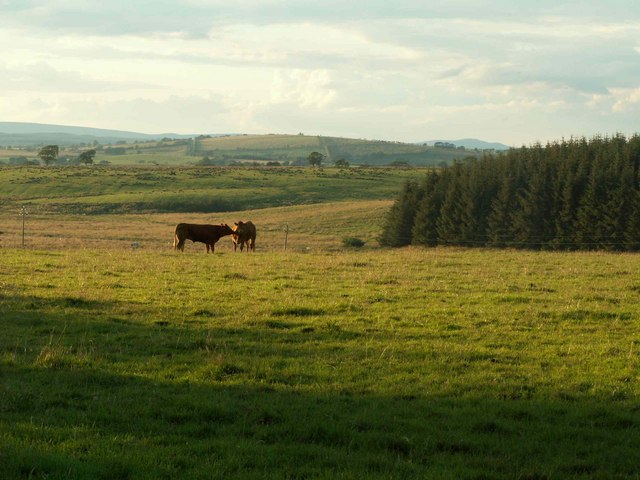 Cattle in field near High Green Hill