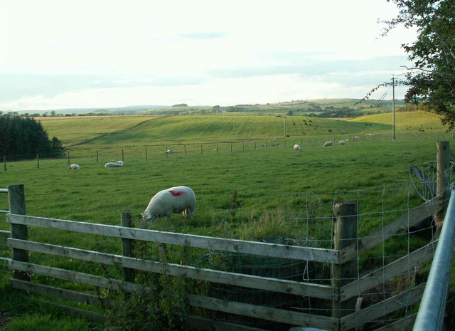 Ram in field at  North Greenhill
