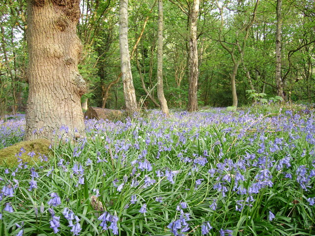 Bluebells at Shining Cliff Woods