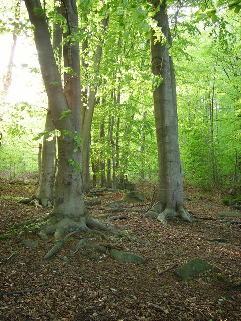 Beech trees at Shining Cliff Woods