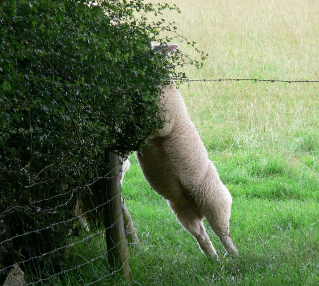 Athletic Sheep