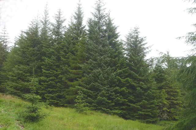 Sitka Spruce in Borgie Forest