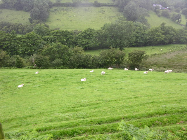 Sheep in Cywarch valley