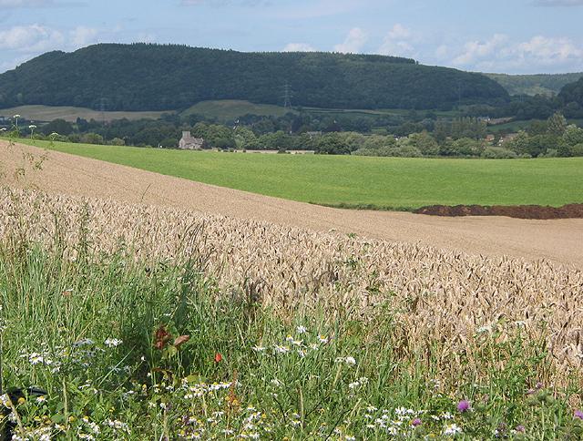 Field of wheat near Goodrich.