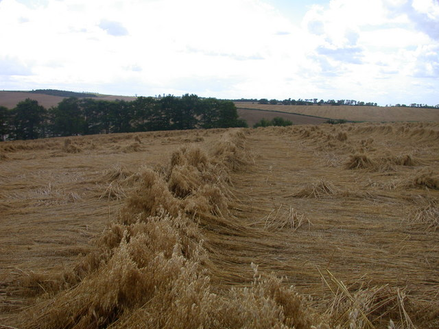 A field of rather flattened oats