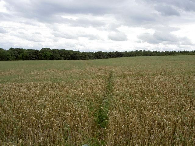 Footpath through a Wheat field.