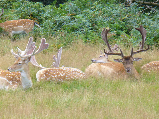 Fallow Deer in Richmond Park