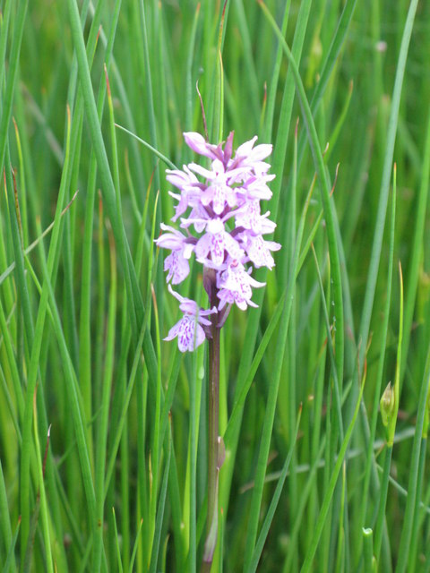 Orchid, Western Meadows