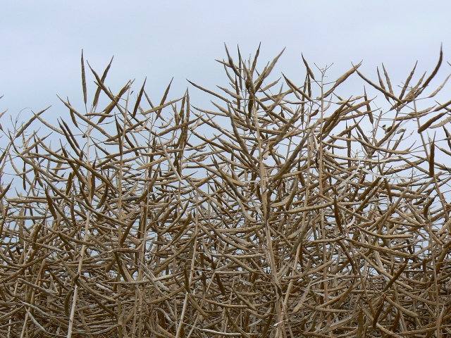 Oilseed rape up close, near Winterbourne Bassett