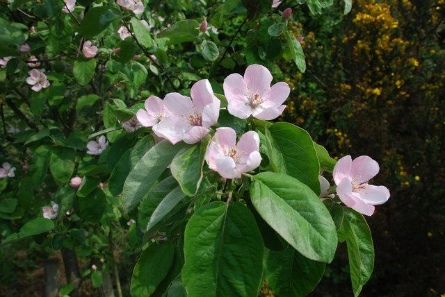 Blodau cwins - Quince blossom