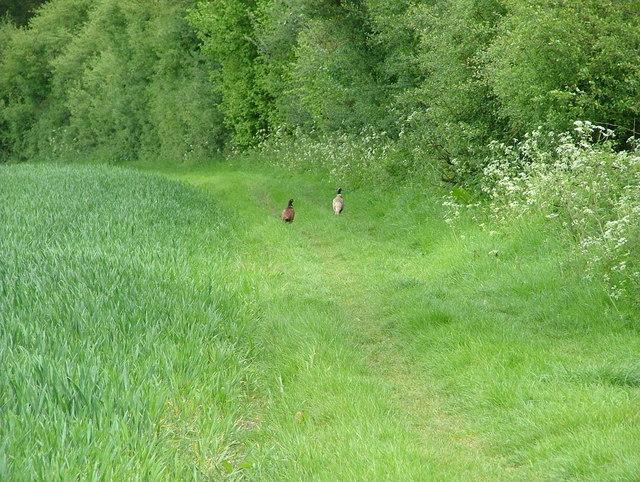 A pair of pheasants lead the way along the Ridgeway