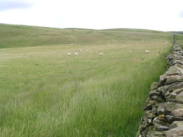 Sheep field at Peat Law