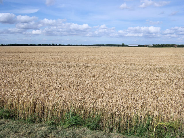 Wheatfield at Branton Grange