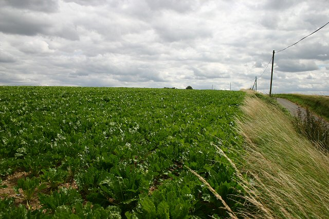 Brassica field near Boyton End