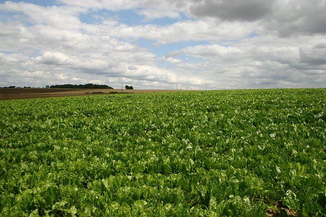 Brassica field near Boyton End