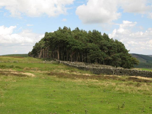 Plantation west of Riddlehamhope Farm