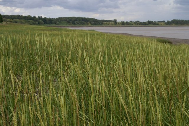 Spartina colonising the foreshore at Oglet Bay