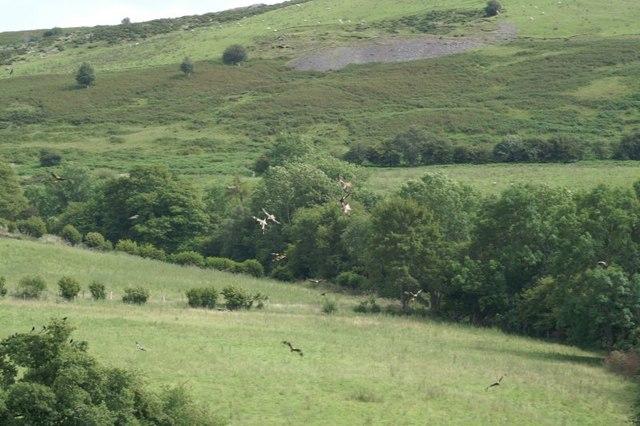 Kites at Gigrin Farm