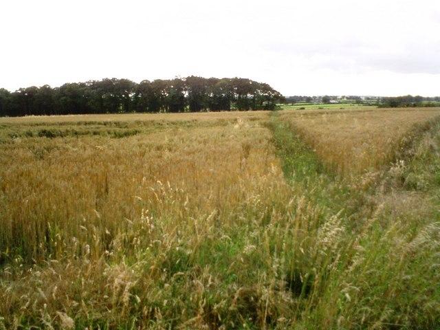 Footpath across wheat fields