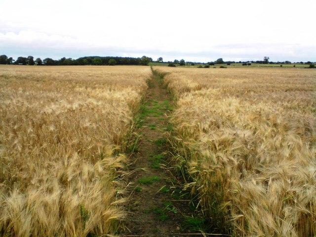 Footpath across barley fields