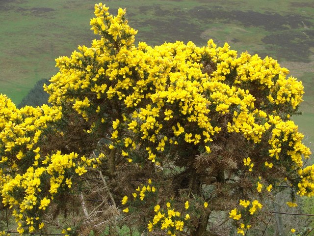 Gorse bush by Hartree Hills, Biggar
