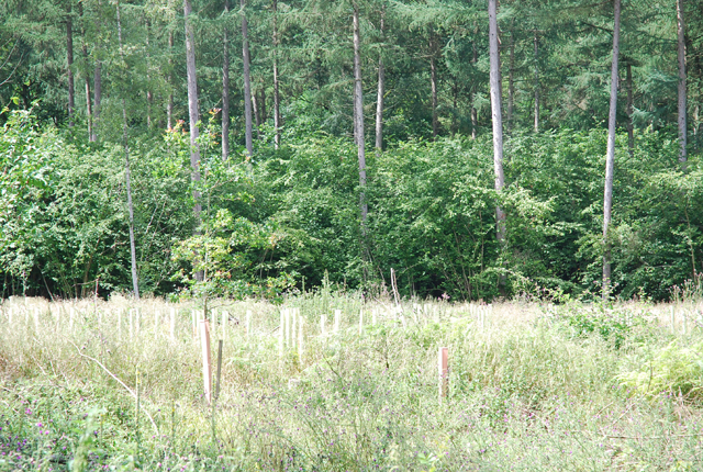 Reforestation in Crendle Bottom Copse