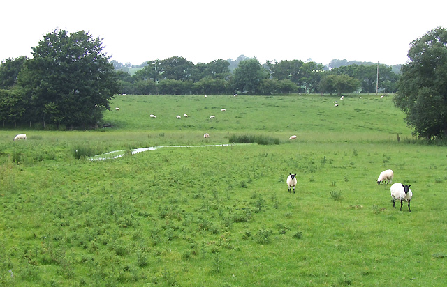 Sheep grazing by the Afon Teifi, Ceredigion