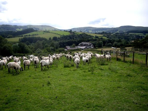 Sheep at Gigrin Farm, Rhayader
