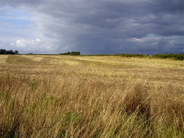 Wheat field at Hale Head