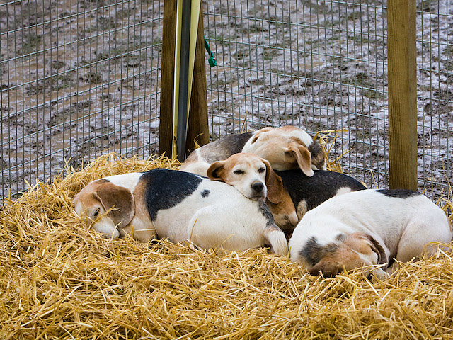 Beagles at the New Forest Show 2007