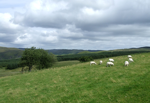 Sheep Grazing near Llanddewi-Brefi, Ceredigion