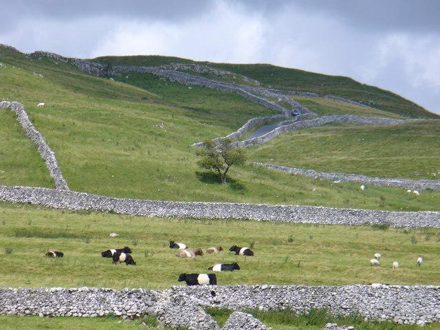 Belted Galloway Cattle near Malham